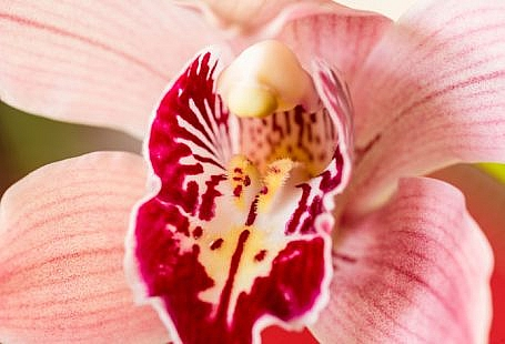 vulva floare